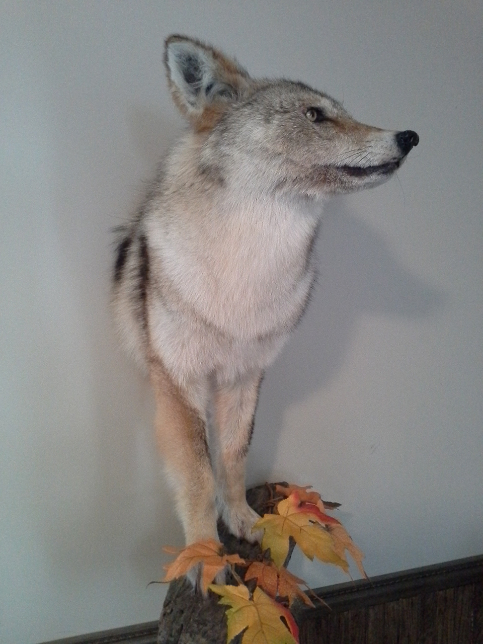 taxidermist-a-quebec-taxidermie-asselin