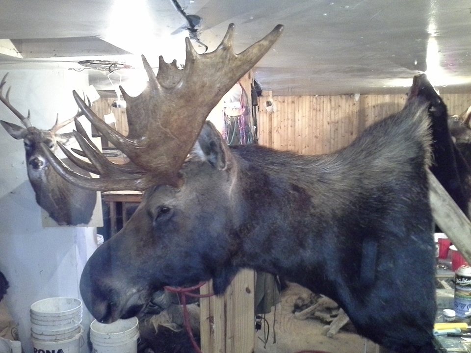 taxidermist-a-quebec10-taxidermie-asselin