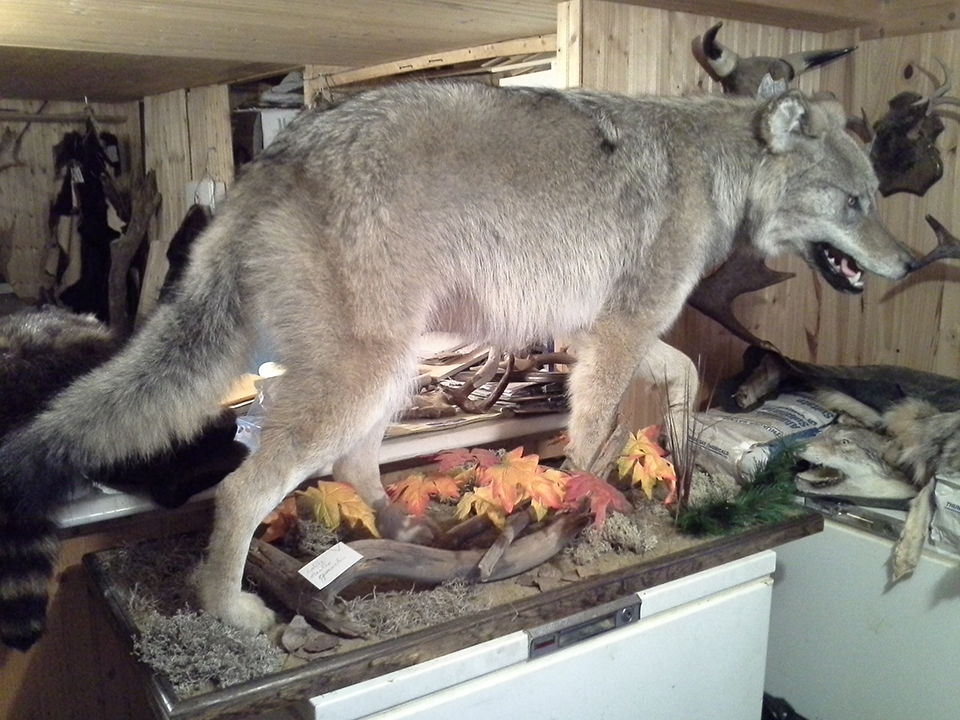 taxidermist-a-quebec4-taxidermie-asselin