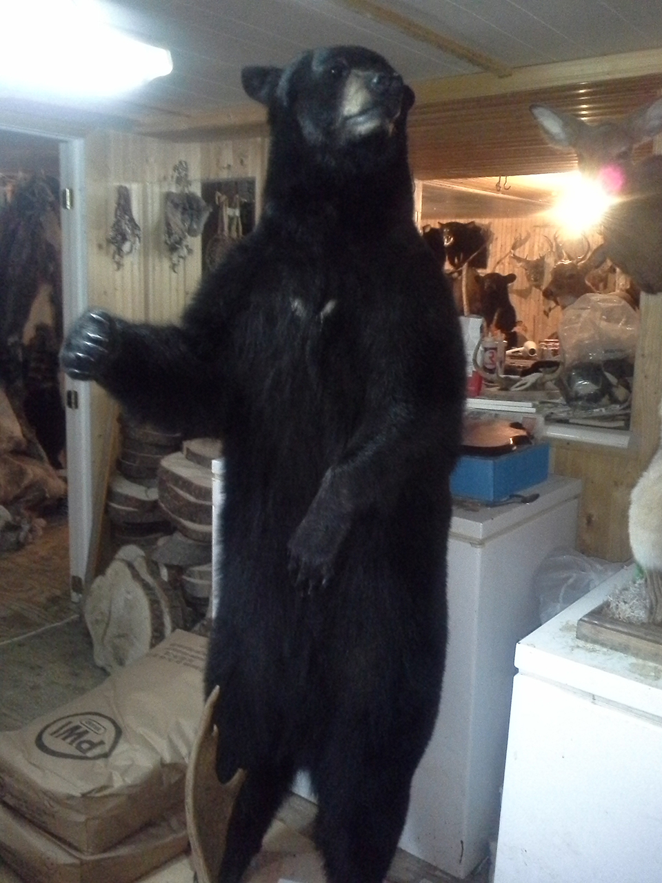 taxidermist-a-quebec9-taxidermie-asselin