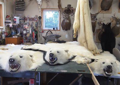 Tapis d_ours polaire (taxidermiste à Québec) - Taxidermie Asselin Québec